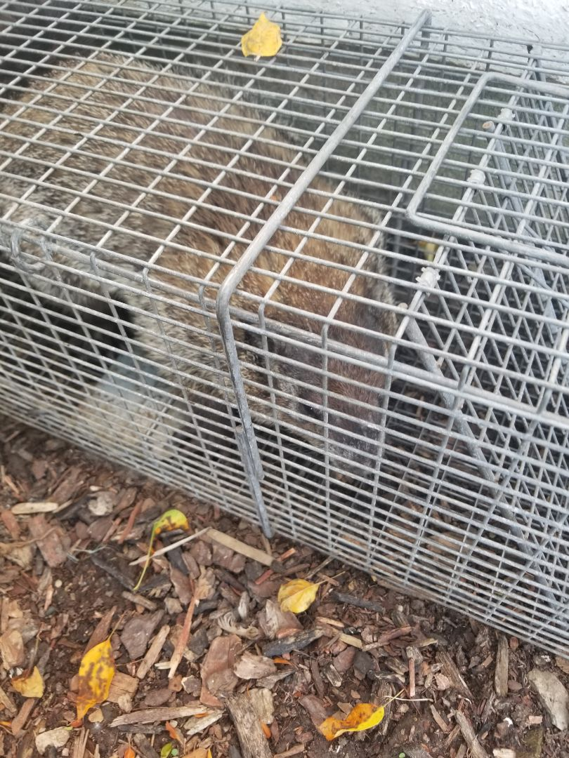 Romeoville, IL - Professional , humane woodchuck trapping and removal.