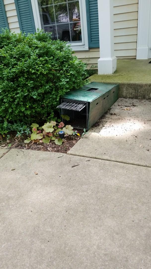 Naperville, IL - Settting humane trap for skunks