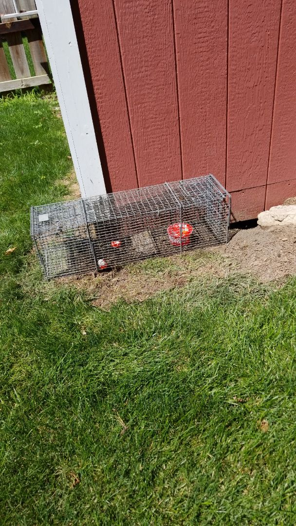 Batavia, IL - Effective , professional Skunk trapping and removal.