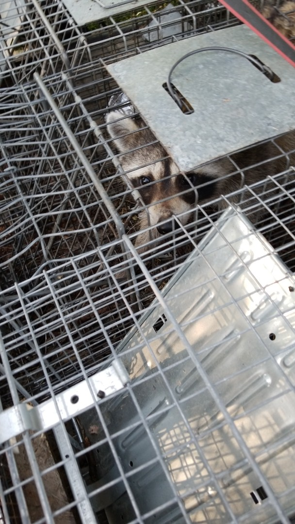 Batavia, IL - Humane Raccoon trapping and removal.