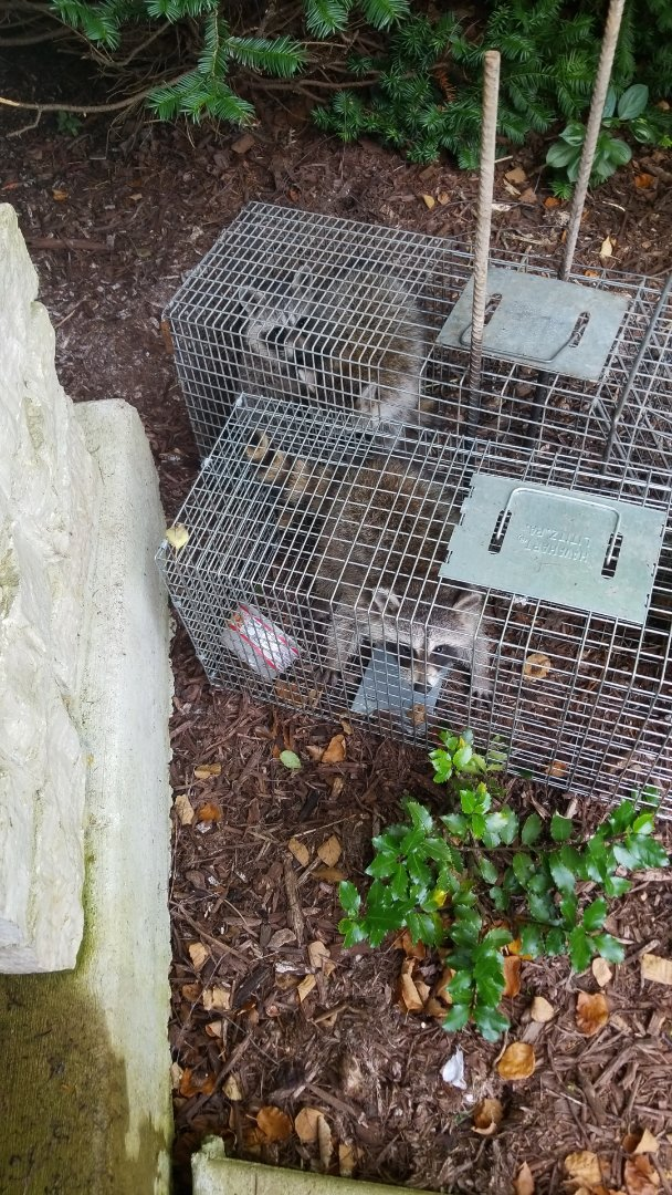 Batavia, IL - Raccoon trapping and removal.