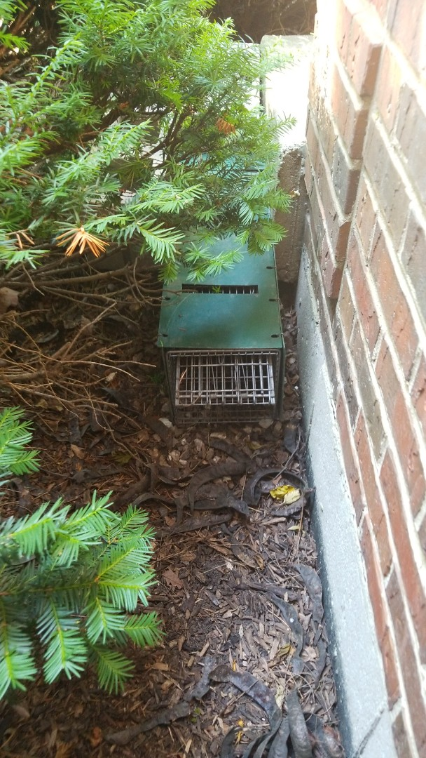 Naperville, IL - Professional skunk trapping and removal.