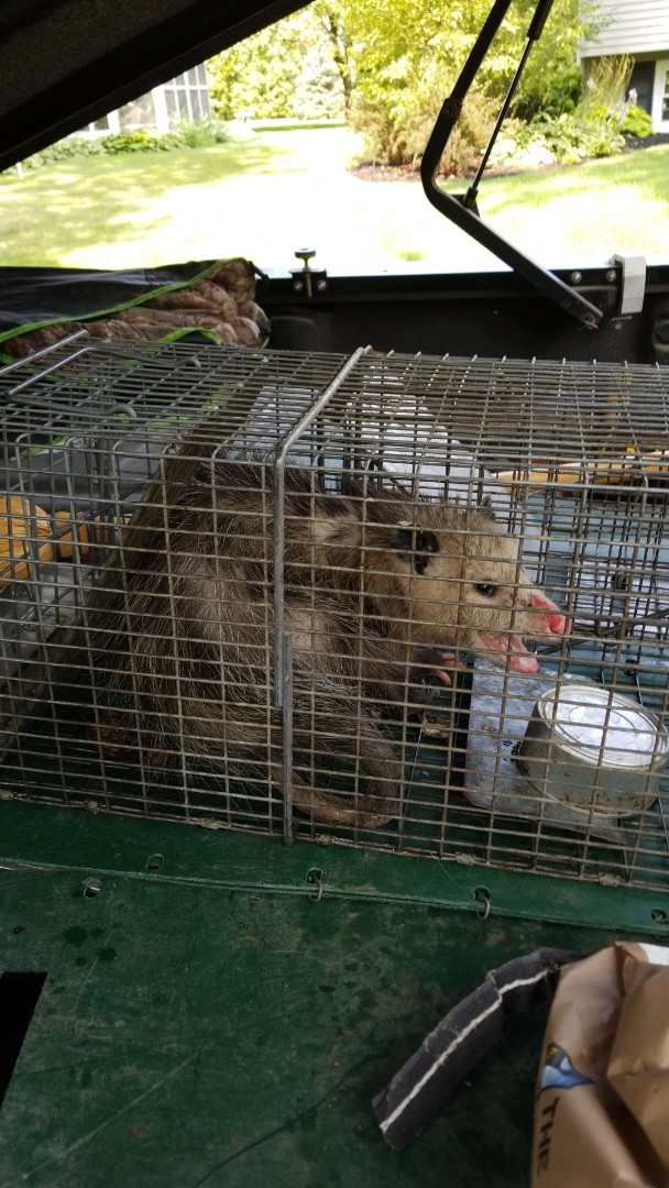 Naperville, IL - Humane , professional  opposum trapping and removal in Napwrville .