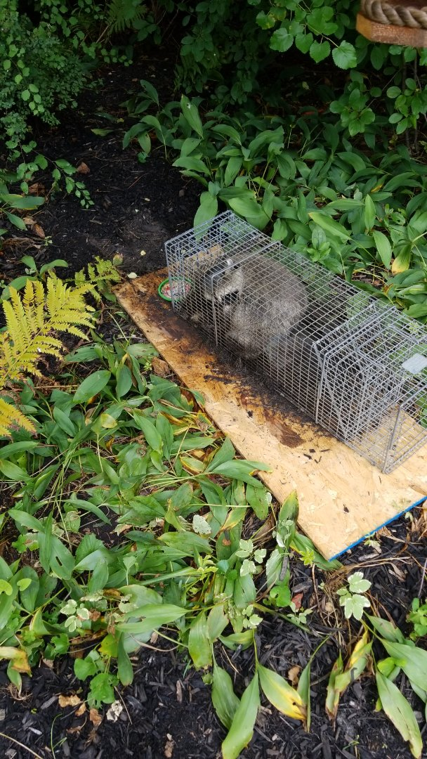 Naperville, IL - Successful raccoon trapping and removal in Naperville.