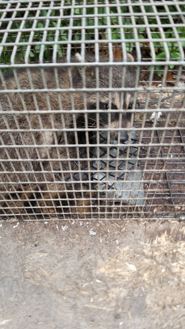 Lemont, IL - Successful raccoon trapping and removal in Lemont  , IL.