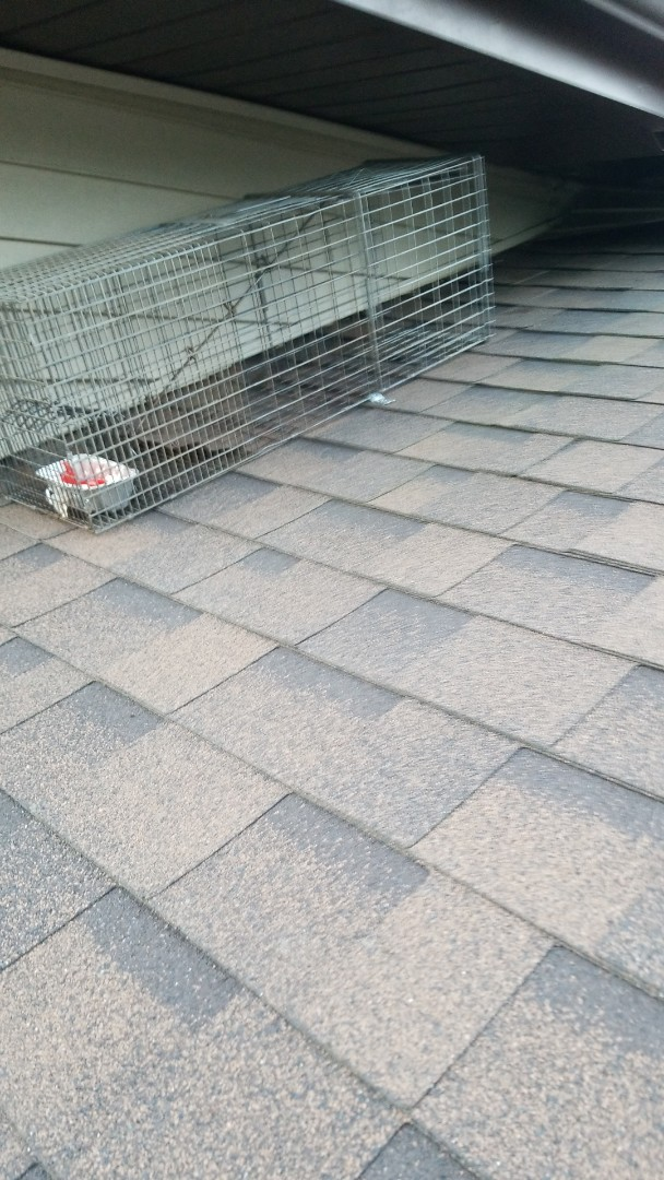 Carol Stream, IL - Raccoon trapping and removal in Carol Stream Illinois.