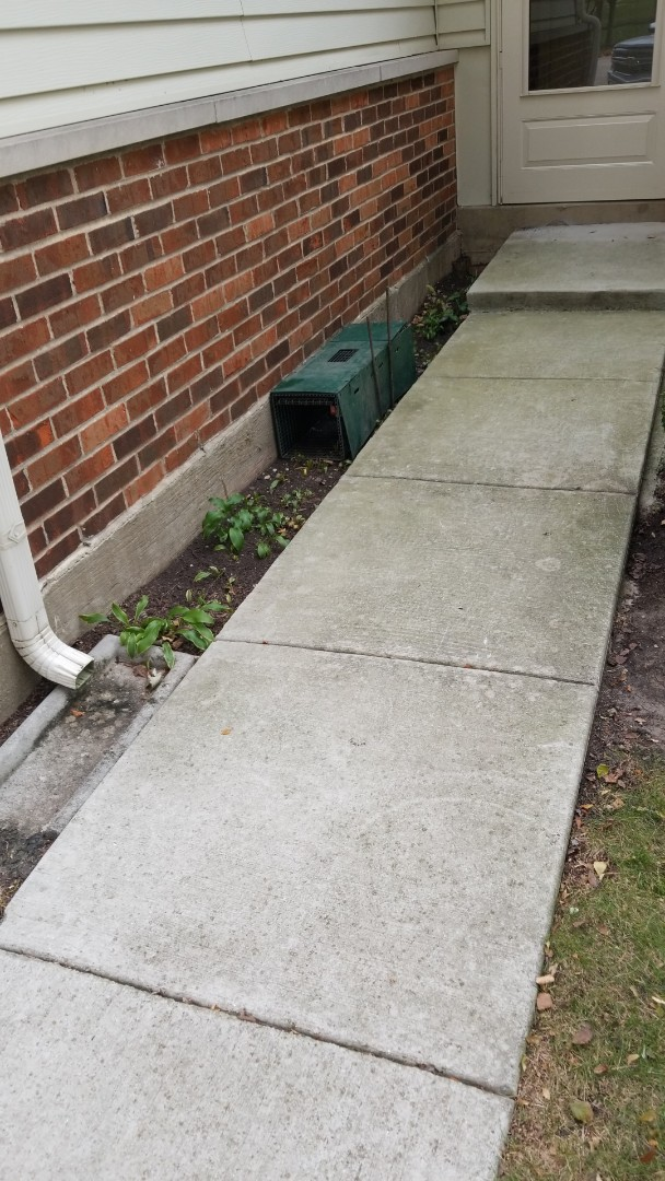Skunk trapping and removal in Plainfield, IL.