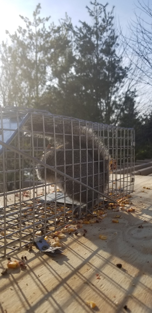 West Chicago, IL - Completion of successful squirrel trapping and removal in West Chicago , IL