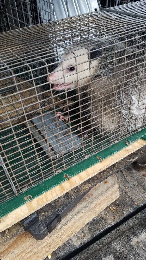 Lemont, IL - Successful opposum trapping and removal in Lemont  , IL.