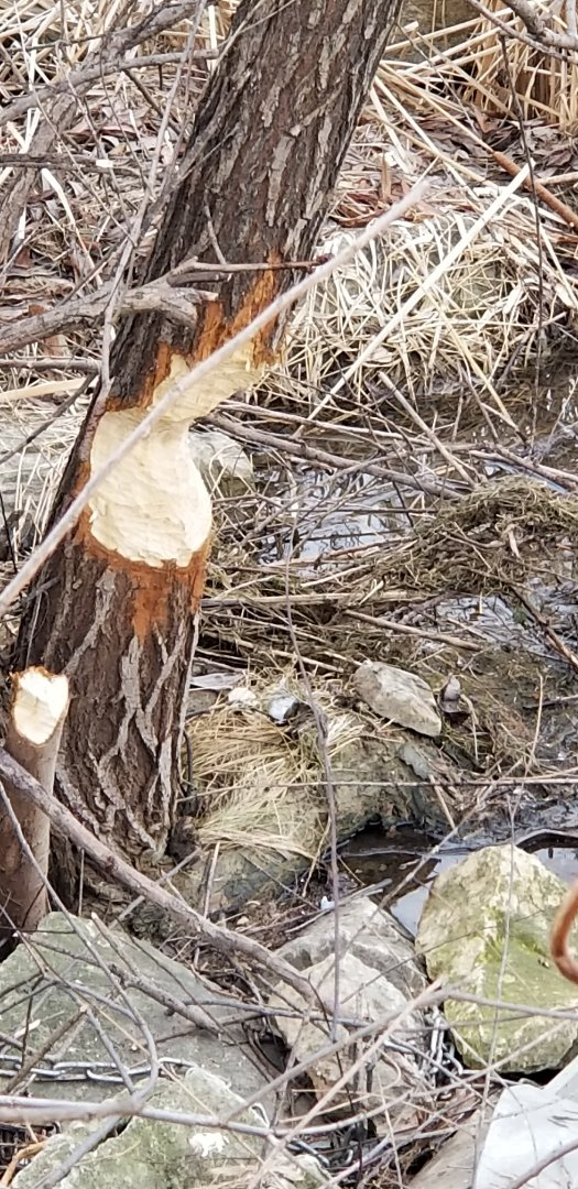 Joliet, IL - Beaver trapping and removal in Joliet , IL.