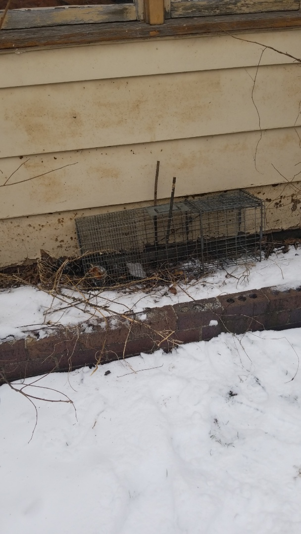 Lyons, IL - Raccoon trapping and removal in Lyons , IL.