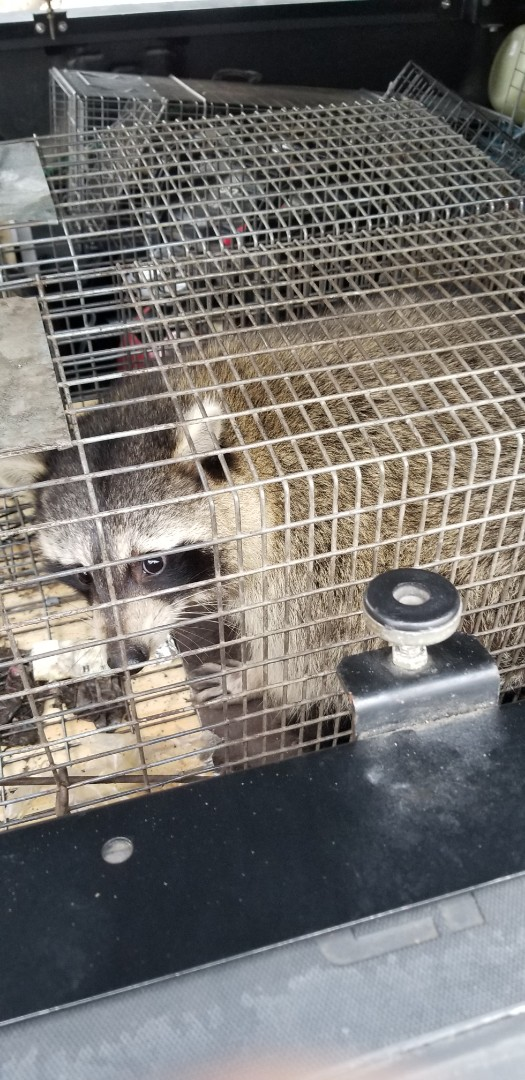 Lyons, IL - On going successful raccoon trapping and removal in Lyons  , IL.