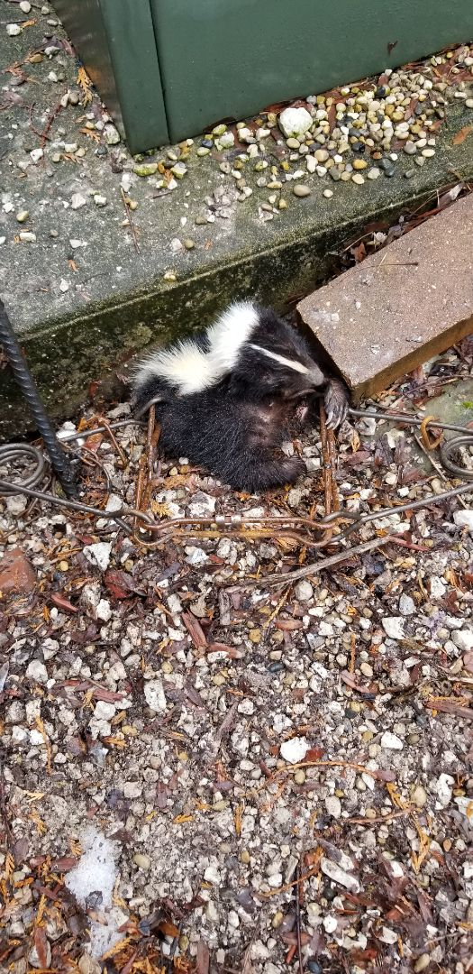 Lemont, IL - Successful skunk trapping and removal in Lemont , IL.