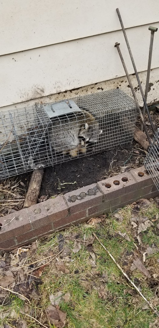 Lyons, IL - On going successful raccoon trapping and removal in Lyons  , IL.  # 3 raccoon trapped and removed. Trap reset for # 4 .