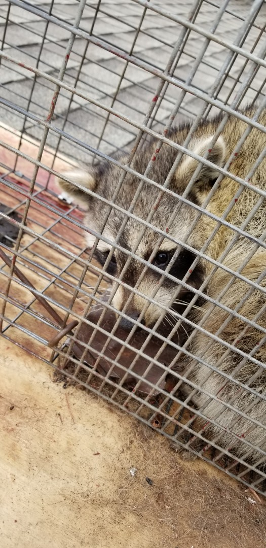 Naperville, IL - On going successful raccoon trapping and removal in Naperville  , IL.