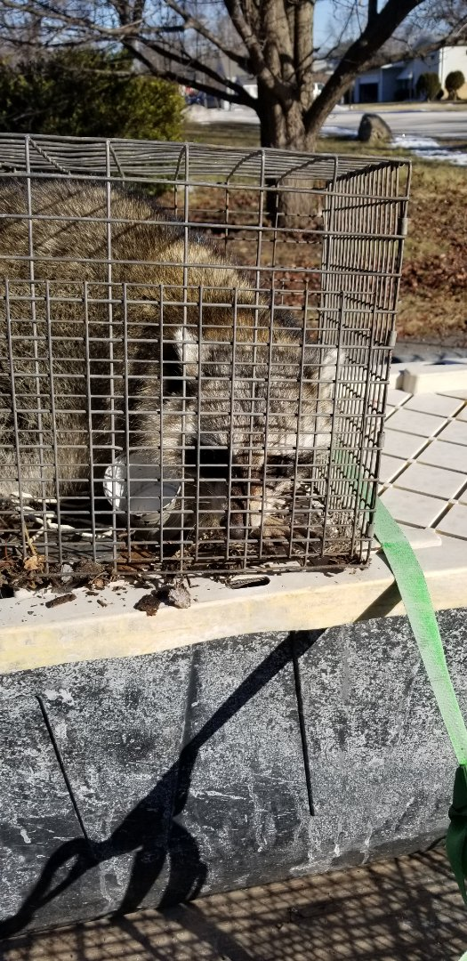 Melrose Park, IL - Successful raccoon trapping in Melrose Park  , Illinois.