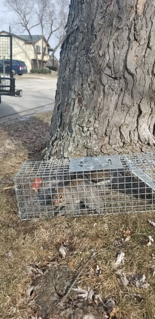 Woodridge, IL - Successful squirrel trapping and removal in Woodridge , IL.