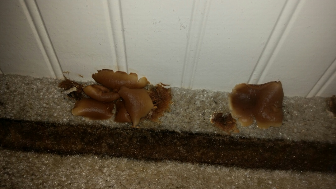 Ogden, UT - Mold inspection in Ogden, Utah. The picture is of mushrooms that are growing out of the carpet. Obviously this has been wet for a while. If it has been damp long enough for mushrooms to grow. Obviously there is mold also, and the odor is telling us there is active mold growth. This dampness was mostly hidden under and behind a dresser. The dampness appears to be from a plumbing leak inside the wall. 801-294-7452 http://www.thefloodco.com/weber-county-utah.html