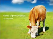 Grazing Cow PowerPoint Templates