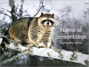 Raccoon PowerPoint Templates
