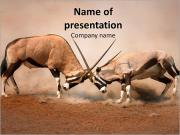 Fighting Gemsbok PowerPoint Templates