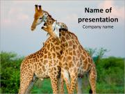 Giraffe Love PowerPoint Templates