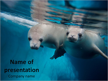 Couple of Crabeater Seals PowerPoint Template