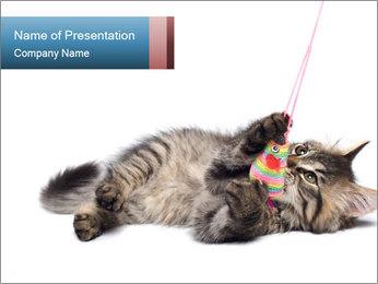 Small Grey Kitten PowerPoint Template