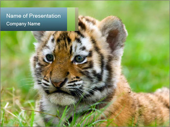 Small Bengal Tiger PowerPoint Template