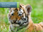 Small Bengal Tiger PowerPoint Templates