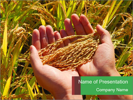 Rice paddy in human hands powerpoint template backgrounds google rice paddy in human hands powerpoint template toneelgroepblik Image collections