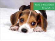 Cute Beagle Pupy PowerPoint Templates
