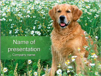 Purebred Golden Retriever PowerPoint Template