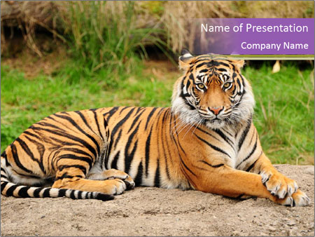 Bengal tiger in zoo powerpoint template backgrounds id bengal tiger in zoo powerpoint templates toneelgroepblik Images