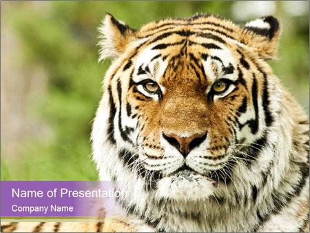 Siberian tiger in zoo powerpoint template backgrounds id siberian tiger in zoo powerpoint templates toneelgroepblik Images