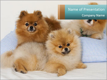 Spitz Puppy PowerPoint Template