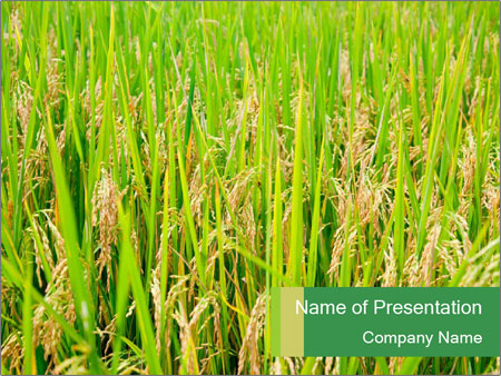 Green field of rice powerpoint template backgrounds google slides green field of rice powerpoint template toneelgroepblik Image collections