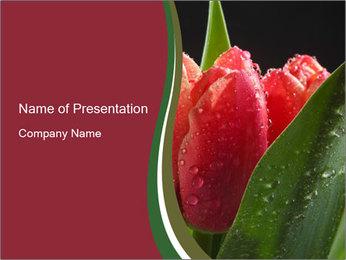 Tulips in Morning Dew Modèles des présentations  PowerPoint