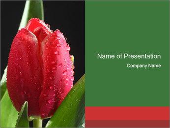 Red Tulip with Dew Drops Modèles des présentations  PowerPoint