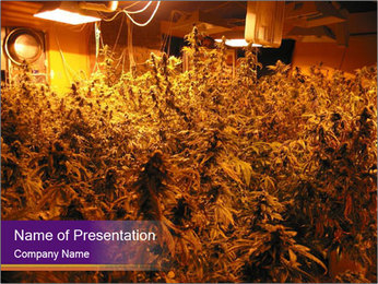 Cannabis Used in Medicine PowerPoint Template