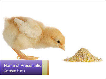 Small Chick Eats Grains PowerPoint Template