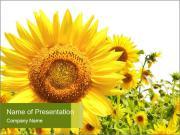 Season of Sunflowers PowerPoint Templates