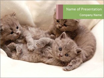Grey Kittens Lying Together PowerPoint Template