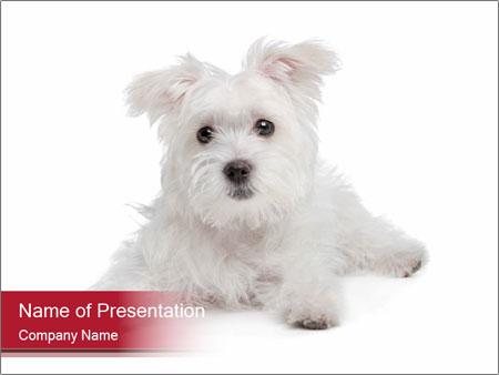 white fluffy dog powerpoint template & backgrounds id 0000029507, Modern powerpoint