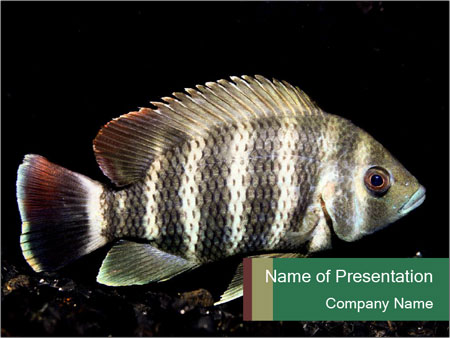 Zebra fish powerpoint template backgrounds id 0000029712 zebra fish powerpoint template toneelgroepblik Image collections