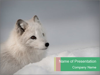 White Fox PowerPoint Template