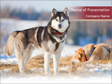 Husky dogs powerpoint template backgrounds google slides id husky dogs powerpoint template toneelgroepblik