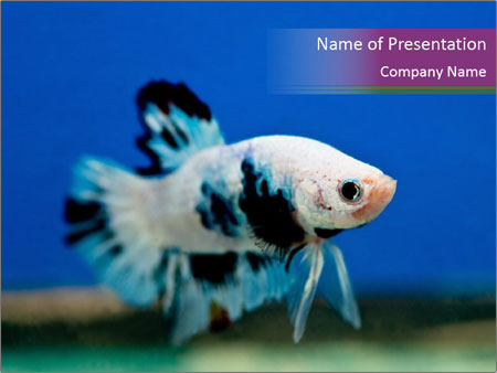 swimming betta fish powerpoint template & backgrounds id, Modern powerpoint