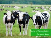 Cows in Swiss Farm Modèles des présentations  PowerPoint