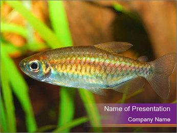 Small Fish in Aquarium PowerPoint Template